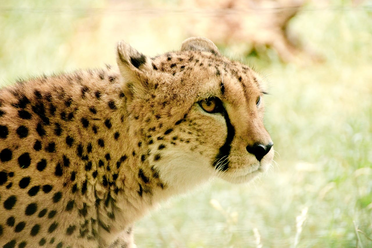 Kenya Travel cheetah