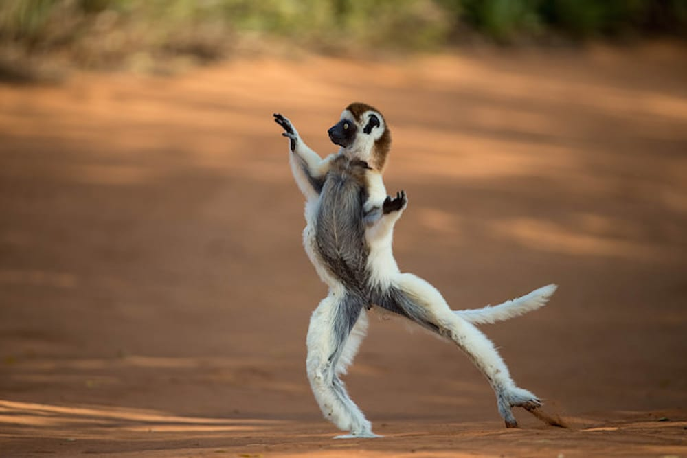 Madagascar Travel Dancing Sifaka
