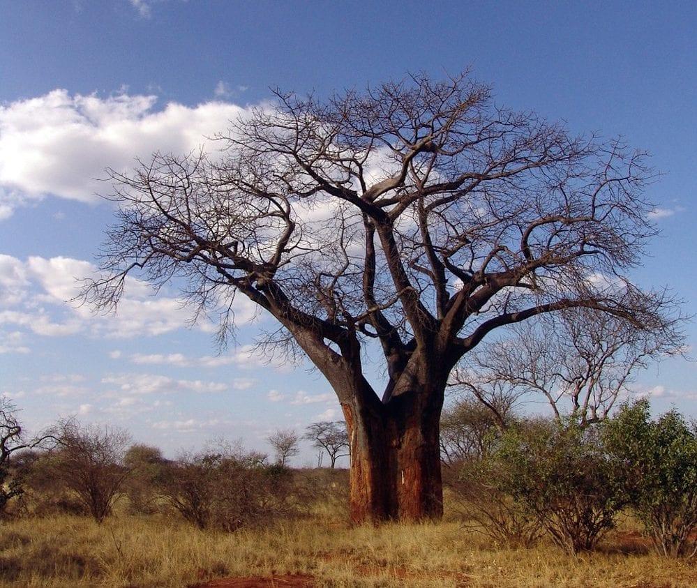 Madagascar Travel baobab e1506709480113