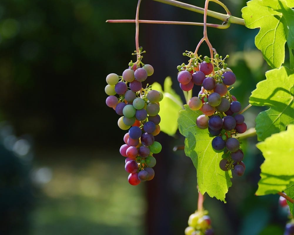 South African Wine Pinotage
