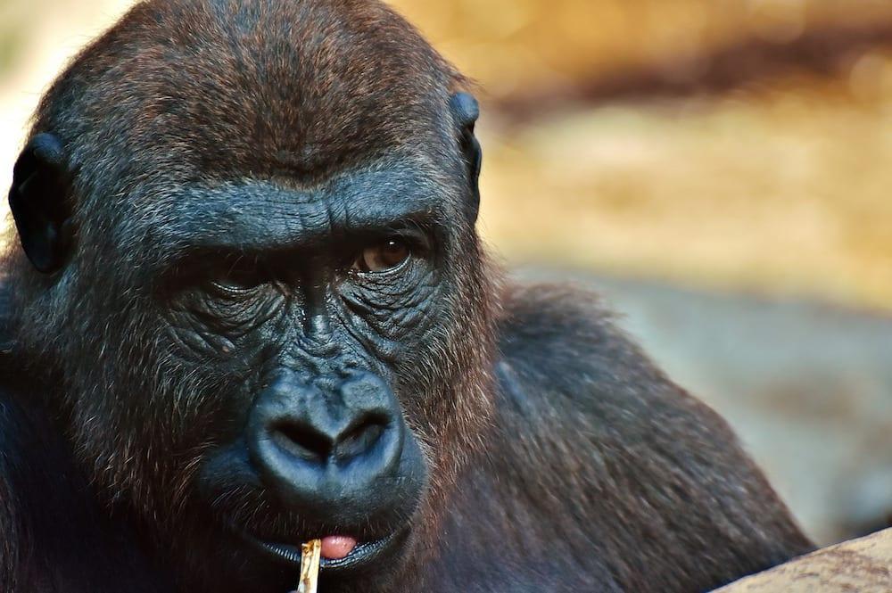 UNESCO gorilla
