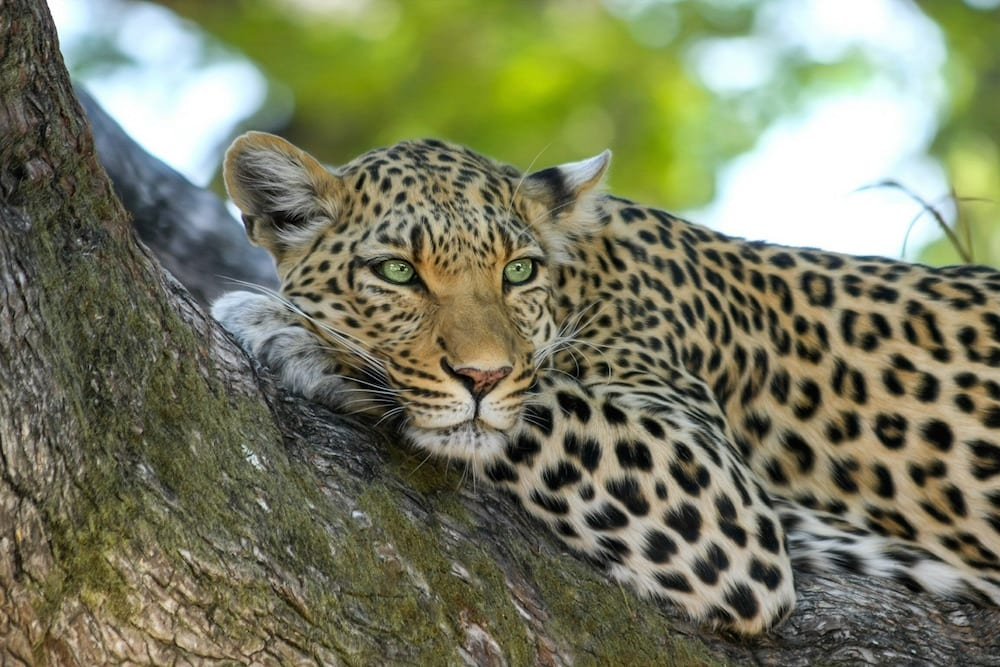 UNESCO leopard