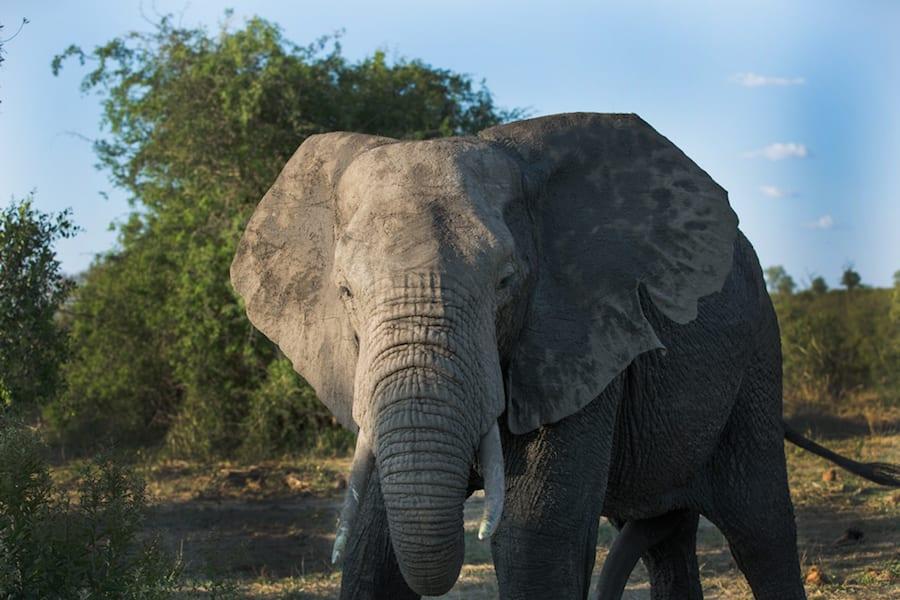 Big Five Game ELEPHANT