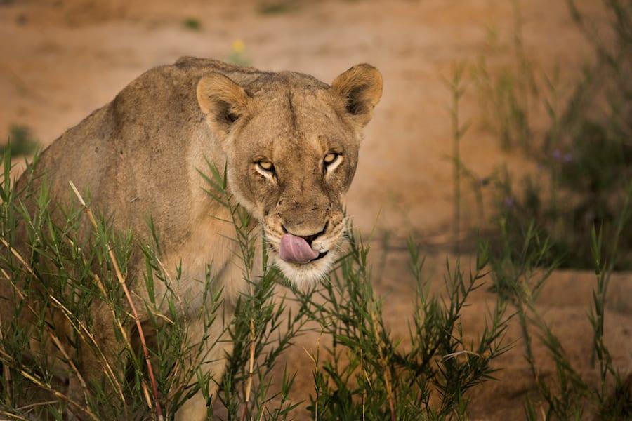 Big Five Game LION
