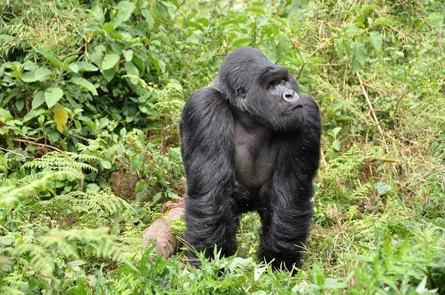 Rwanda Travel Guide gorilla