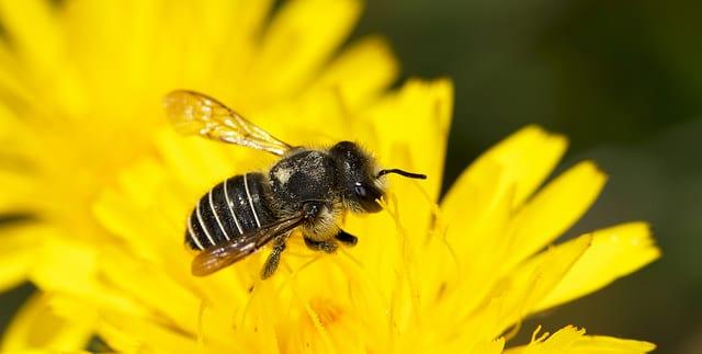Edible African Bugs african bee