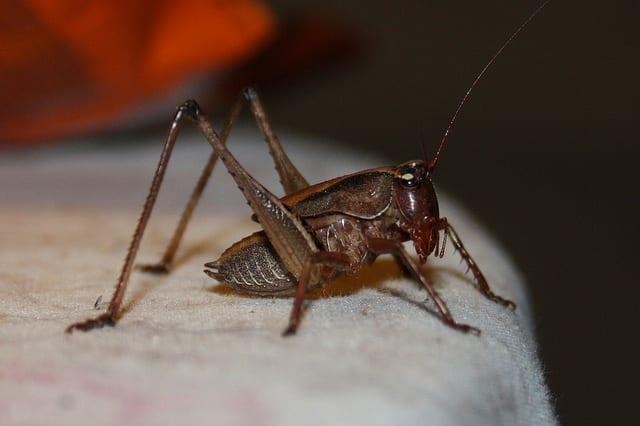 Edible African Bugs cricket
