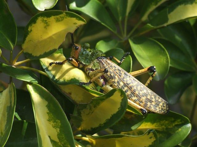 Edible African Bugs locust