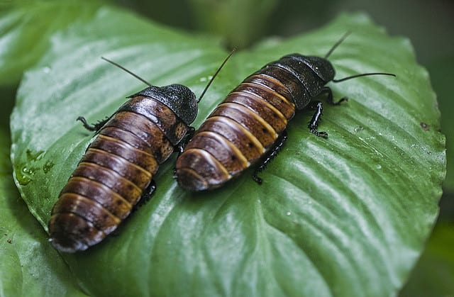 Edible African Bugs madagascar hissing cockroach