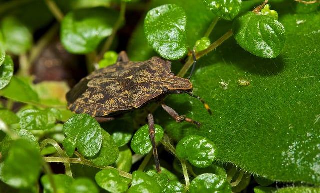 Edible African Bugs stink bug