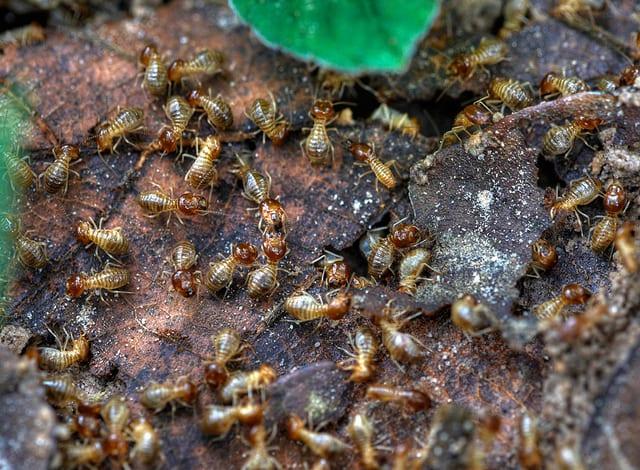 Edible African Bugs termites