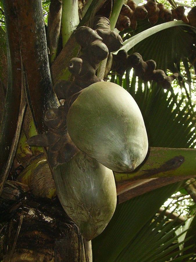 Seychelles Travel Guide Female coco de mer growth