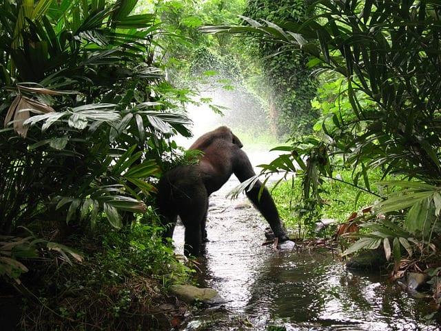 Gorilla Trekking Uganda 01