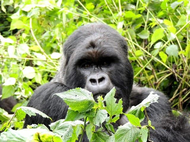Gorilla Trekking Uganda 03