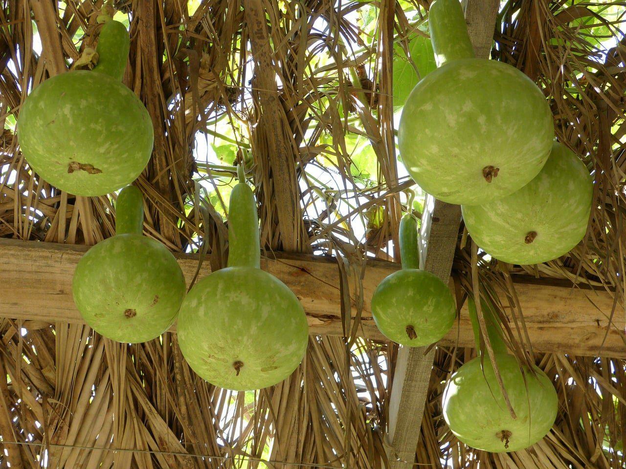 Haiti Gourd