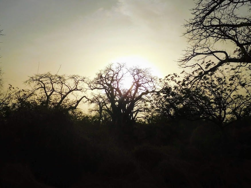 baobab tree @ saloum